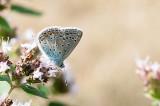 Common Blue -  Almindelig Blåfugl - Polyommatus icarus