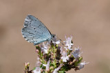 Holly blue - Skovblåfugl - Celastrina argiolus