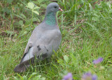 Stock Dove - Huldue - Columba oenas