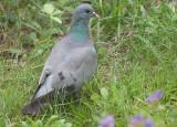 Stock Dove - Huldue - Columba oenas