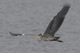 Grey Heron - Fiskehejre - Ardea cinerea