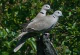 Colared Dove - Tyrkerdue - Streptopelia decaoto