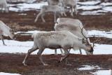 Reindeer domestic- Rener