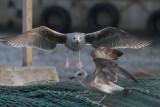 Great Black-backed Gull - Svartbag . Larus marinus juv