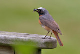 Common Redstart - Roedstjert - Phonicurus phonicurus