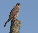 Common Kestrel - Taarnfalk - Falco tinnunculus