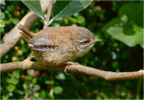 Young Wren waiting to be fed.