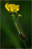 Black and Red Froghopper on a Buttercup