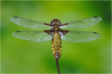 Broad-Bodied Chaser (female)