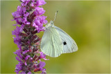 Large White on Purple Loosestrife