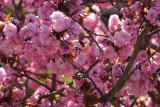 6 May: Pink Blossom