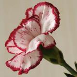 14 May: Carnation