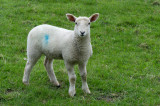 29 May: Little Lamb