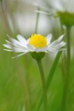 10 June: Daisy