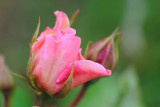 20 June: Garden Rosebuds