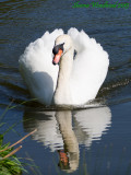 Swan on the Chesterfield Canal