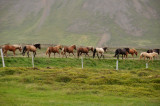 Horses in a line