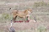 40720_110_Lion-with-Prey.JPG