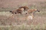 40720_111_Lion-Hyenas.JPG