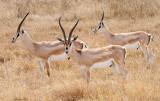 40720_120_Grant's-Gazelles.JPG