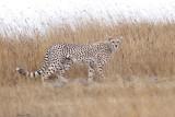 40721_111_Cheetah.JPG