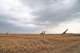 40721_140_Giraffe_4.jpg