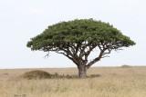 40721_152_Sausage-Tree.JPG