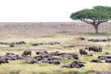 40721_155_Cape-Buffalos.JPG