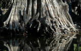 Bald Cypress trunk, Edisto River