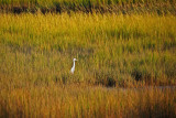 Great white heron in fall spartina