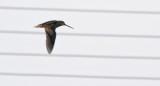 Pin-tailed Snipe · Gallinago stenura