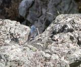 Blue Rock Thrush, Blåtrast, Monticola solitarius