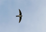 Alpine Swift, Alpseglare, Apus melba