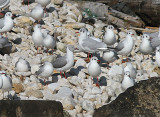Birds from Western Paleartic / Gulls to Bunting