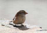 Iago Sparrow, Kapverdesparv, Passer iagoensis