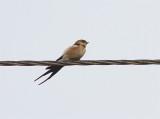Red-rumped Swallow, Rostgumpsvala, Cecropis daurica