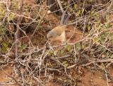 Tristram's Warbler, Atlassångare, Silvia deserticola