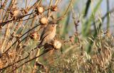 Iraq Babbler, Irakskriktrast, Turdoides altirostris