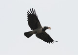 Hooded Crow, Gråkråka, Corvus cornix