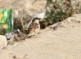 House Sparrow, Gråsparv, Passer domesticus