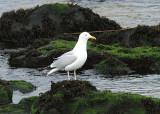 Herring Gull, Gråtrut, Larus argentatus argenteus