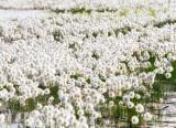 Bog Cotton (Eriophorum angustifolium)