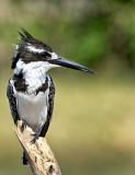 Pied Kingfisher (Ceryle rudis) Female