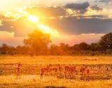 Nervous Impala at Sunset