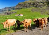 Icelandic Cows