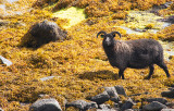 Seaweed Sheep