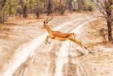Impala Buck Takeoff