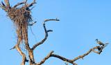 Messy Nest - Hadeda Ibis