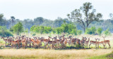 Impala Herd - on alert