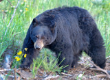 Black Bear - Female